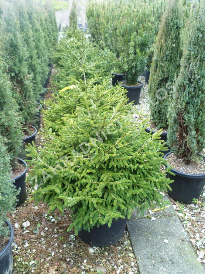Smrk východní 'Golden Start' - Picea orientalis 'Golden Start'