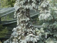 Smrk 'Kosteriana Glauca' - Picea pungens 'Kosteriana Glauca'