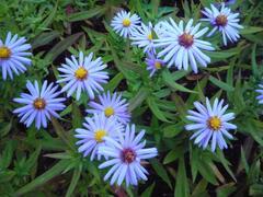 Hvězdnice keříčkovitá - modrá - Aster dumosus - modrá