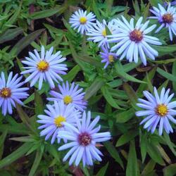 Hvězdnice keříčkovitá - Aster dumosus - modrá