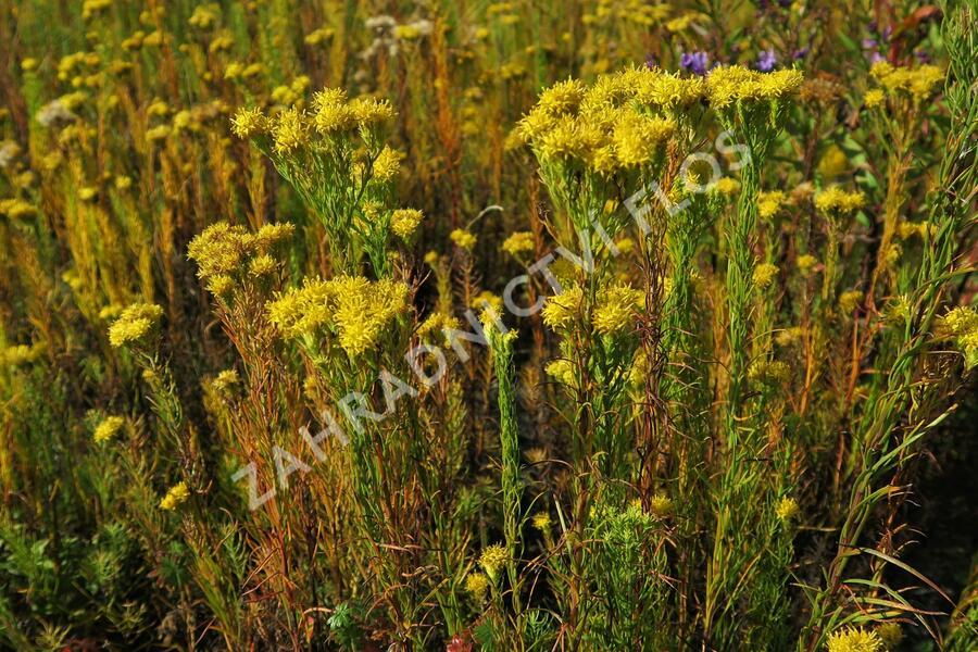 Hvězdnice zlatovlásek - Aster (Galatella) linosyris