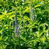 Rozrazil dlouholistý 'Alba' - Veronica longifolia 'Alba'