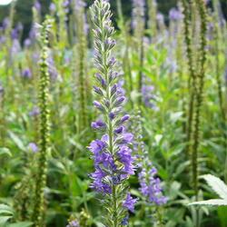 Rozrazil dlouholistý - Veronica longifolia