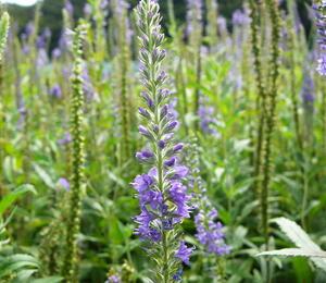 Rozrazil dlouholistý - Veronica longifolia (maritima)