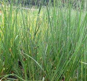 Pampová tráva 'Pumila' - Cortaderia selloana 'Pumila'