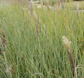 Pampová tráva 'Evita' - Cortaderia selloana 'Evita'