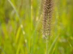 Dochan psárkovitý 'Japonicum' - Pennisetum alopecuroides 'Japonicum'
