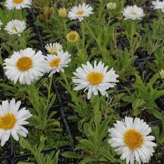 Hvězdnice alpská 'Beauty White' - Aster alpinus 'Beauty White'