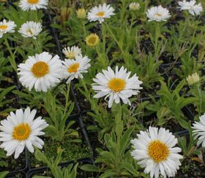 Hvězdnice alpská 'Beauty White' - Aster alpinus 'Beauty White'