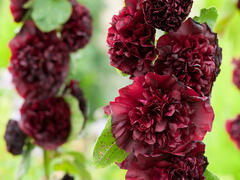 Topolovka růžová 'Chater's Violet' - Alcea rosea plena 'Chater's Violet'