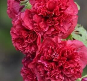 Topolovka růžová 'Chater's Scarlet' - Alcea rosea plena 'Chater's Scarlet'