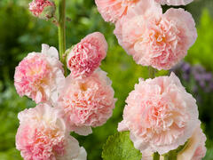 Topolovka růžová 'Chater's Apricot' - Alcea rosea plena 'Chater's Apricot'