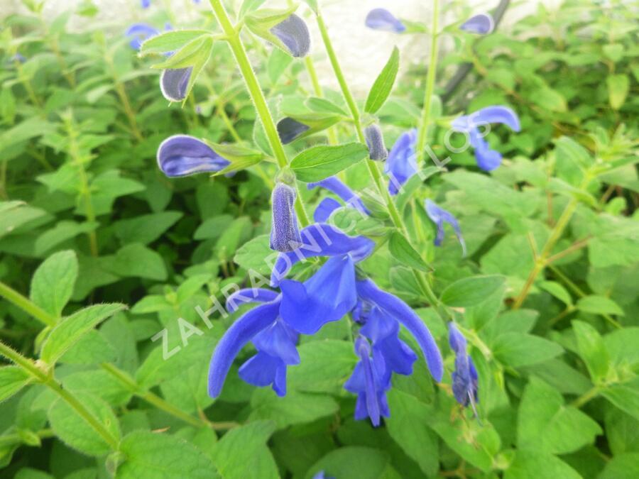 Šalvěj otevřená 'Oceana' - Salvia patens 'Oceana'