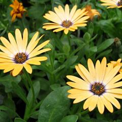 Dvoutvárka 'Cape Daisy Yellow Halo' - Osteospermum ecklonis 'Cape Daisy Yellow Halo'