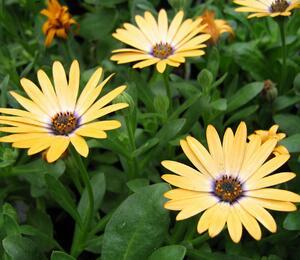 Dvoutvárka 'Cape Daisy Yellow Halo' - Osteospermum ecklonis 'Cape Daisy Yellow Halo'