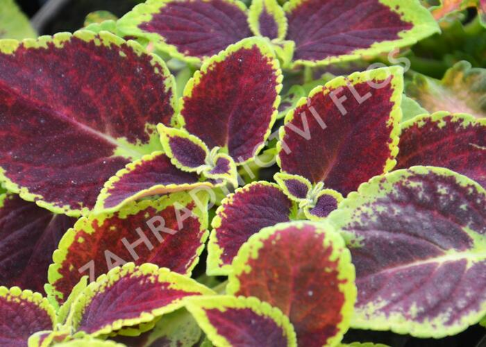 Pokojová kopřiva 'Mosaic Burgundy Velvet' - Coleus blumei 'Mosaic Burgundy Velvet'