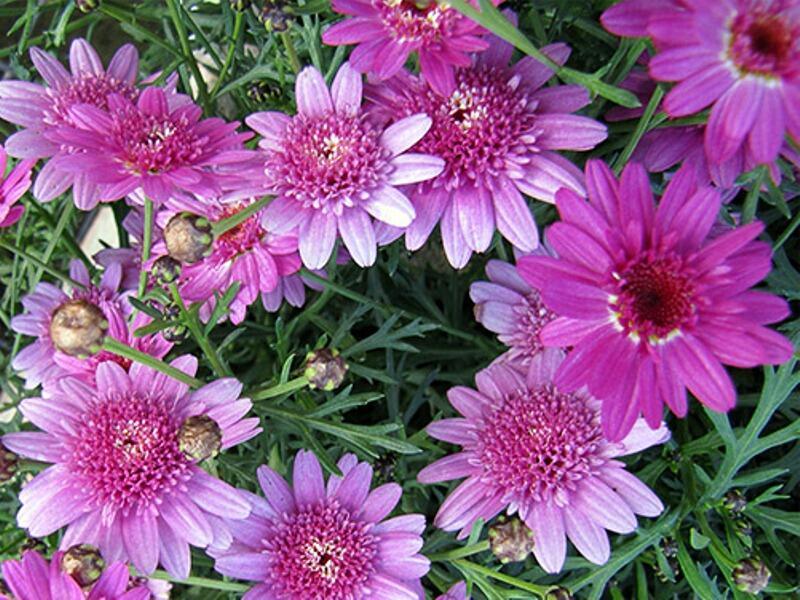 Kopretina pařížská 'Madeira Crested Violet' - Argyranthemum frutescens 'Madeira Crested Violet'