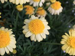 Kopretina pařížská 'Sole Mio' - Argyranthemum frutescens 'Sole Mio'