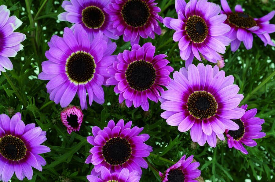 Kopretina pařížská 'Reflection Pink' - Argyranthemum frutescens 'Reflection Pink'