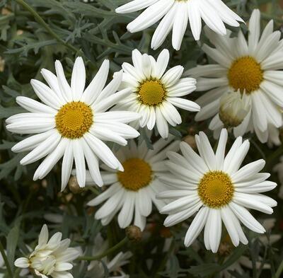 Kopretina pařížská 'Aramis Snow' - Argyranthemum frutescens 'Aramis Snow'