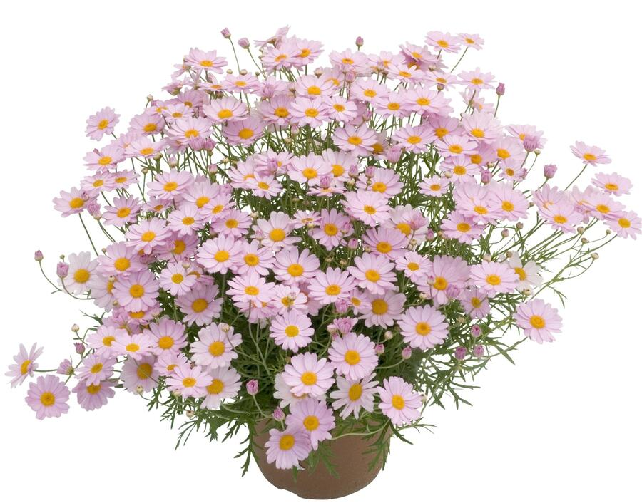 Kopretina pařížská 'Summit Pink' - Argyranthemum frutescens 'Summit Pink'