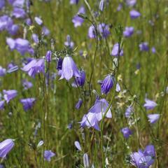 Zvonek okrouhlolistý 'Olympica' - Campanula rotundifolia 'Olympica'