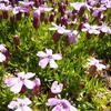 Silenka bezlodyžná 'Floribunda' - Silene acaulis 'Floribunda'