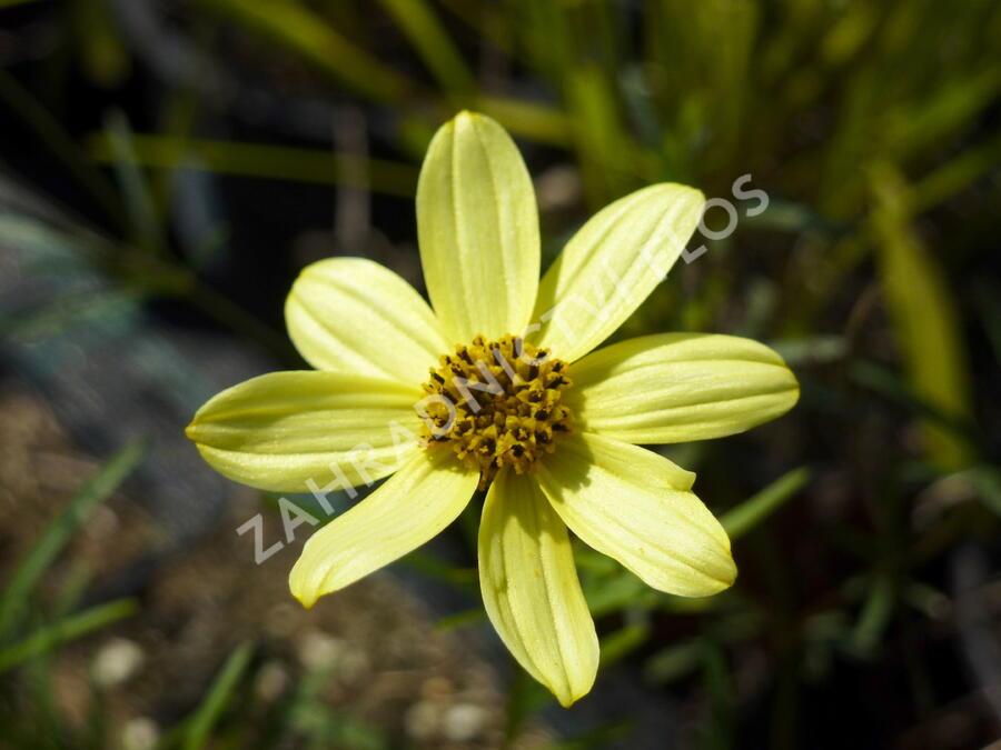 Krásnoočko přeslenité 'Moonbeam' - Coreopsis verticillata 'Moonbeam'