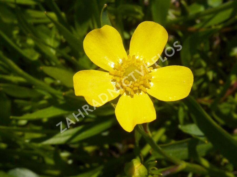 Pryskyřník plamének - Ranunculus flammula