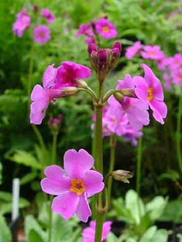 Prvosenka - Primula poissonii