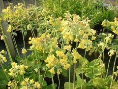 Prvosenka - Primula florindae