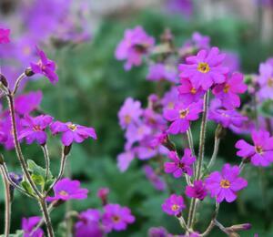 Prvosenka - Primula polyneura