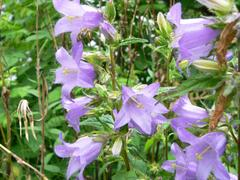 Zvonek kopřivolistý - Campanula trachelium