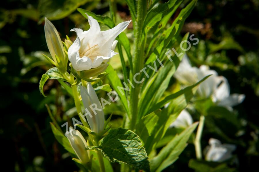 Zvonek širokolistý 'Alba' - Campanula latifolia var. macrantha 'Alba'