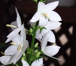 Zvonek jehlanitý 'Alba' - Campanula pyramidalis 'Alba'