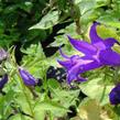 Zvonek širokolistý var. macrantha - Campanula latifolia var. macrantha