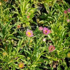 Hvězdnice alpská 'Pinkie' - Aster alpinus 'Pinkie'
