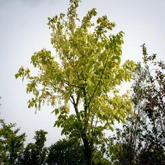 Javor jasanolistý 'Argenteomarginatum' - Acer negundo 'Argenteomarginatum'