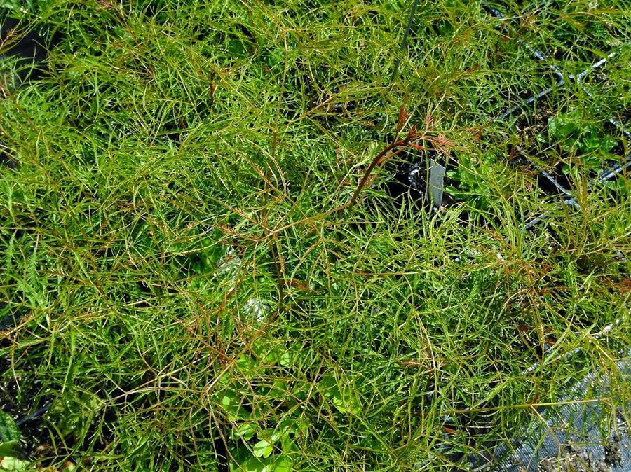 Udatna lesní 'Kneiffii' - Aruncus dioicus 'Kneiffii'