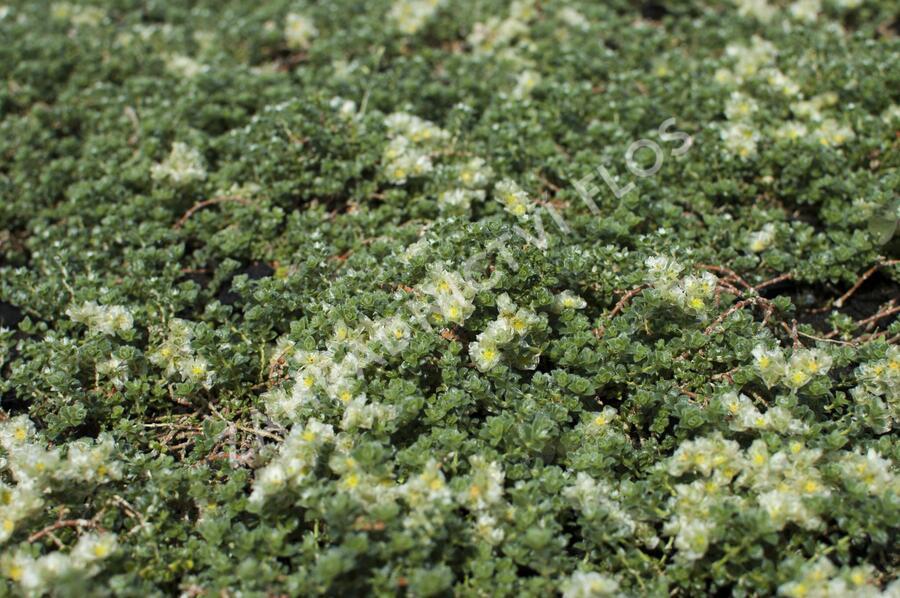 Stříbřenka - Paronychia kapela ssp.serpyllifolia