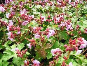 Kakost oddenkatý 'Ingwersen' - Geranium macrorrhizum 'Ingwersen'