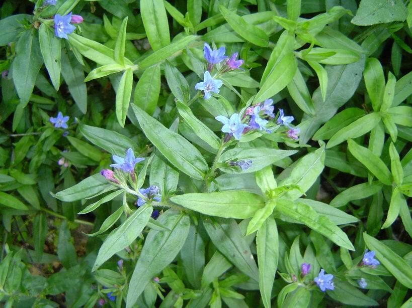 Kamejka modronachová - Buglossoides purpurocaerulea