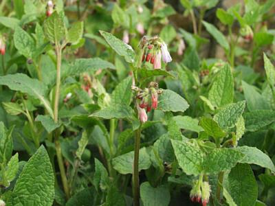 Kostival 'Hidcote Pink' - Symphytum grandiflorum 'Hidcote Pink'