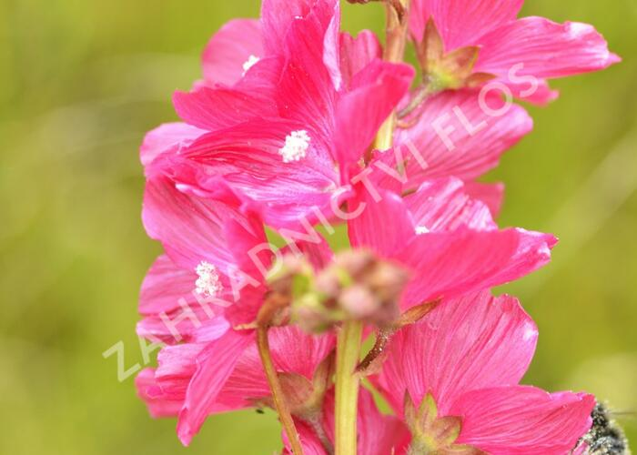 Slézovník 'William Smith' - Sidalcea 'William Smith'