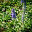 Rozrazil klasnatý 'Blue Carpet' - Veronica spicata 'Blue Carpet'