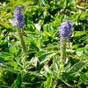 Rozrazil klasnatý 'Blue Carpet' - Veronica spicata 'Blue Carpet'