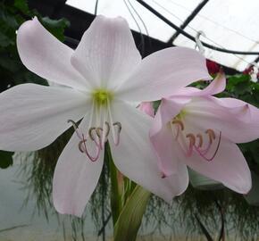 Křín 'Spring Joy' - Crinum 'Spring Joy'