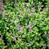 Šanta 'Auslese' - Nepeta racemosa 'Auslese'