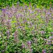Šanta hroznovitá 'Auslese' - Nepeta racemosa 'Auslese'