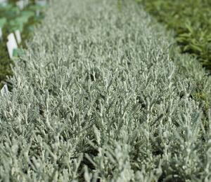 Svatolina 'Silver Kompakt' - Santolina chamaecyparissus 'Silver Kompakt'